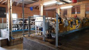 Melkstand für Ziegen